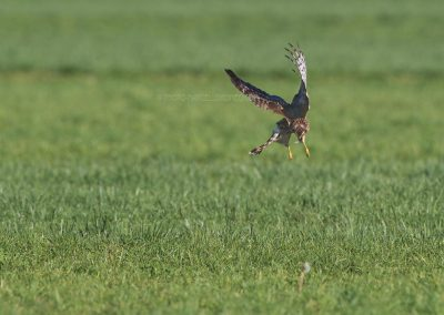 Hunting Hen Harrier opbove the meadow