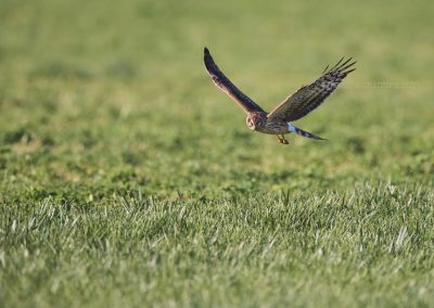 Female Hen Harrier hunting above the meadow