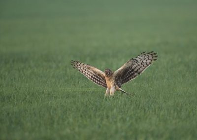 Hen Harrier jumps on a prey…