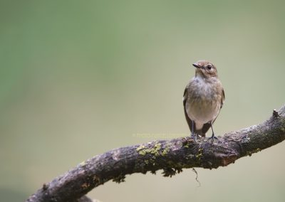 Pied Flycatcher posing on a branch for a split second…
