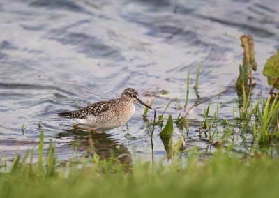 Wood Sandpiper foraging in low water