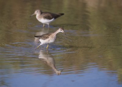 Wood Sandpiper foraging with in the background a Green Sandpiper