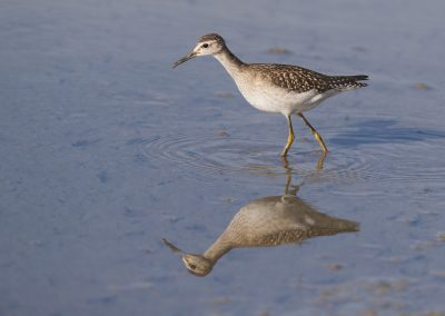 Wood Sandpiper wading in low water during foraging
