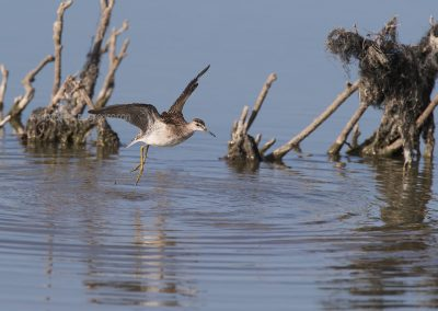 Wood Sandpiper flies up from the water after taking a bath…