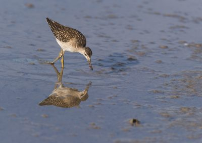 Wood Sandpiper with a fresh caught worm during foraging