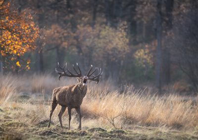 Red Deer Stag belling…