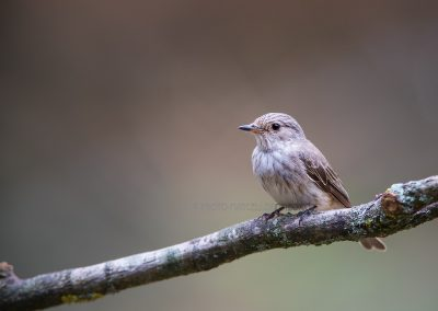Spotted Flycatcher resting on a branch before going to the drinking pool