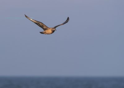 Great Skua in flight over the sea