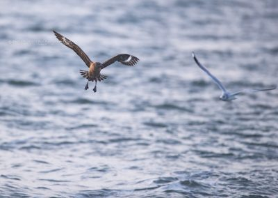 Agressive Great Skua looks at the gulls to see if he can steal their food…