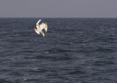 Northern Gannet dives to a prey