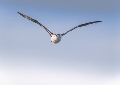 Semi Adult Northern Gannet flying right to the camera…