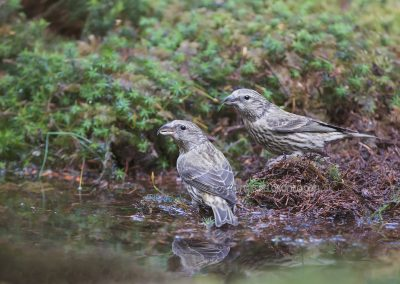 Two juvenile red crossbills drinking at a pool