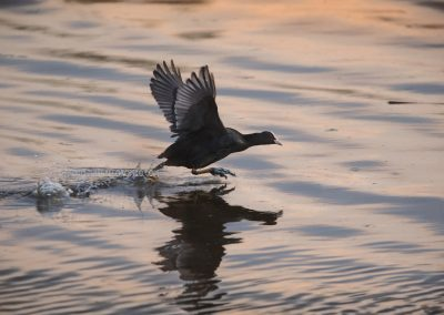 """Eurasian Coot """"running"""" over the water…"""