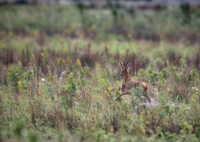 Roe Deer buck haring away through the swampy field