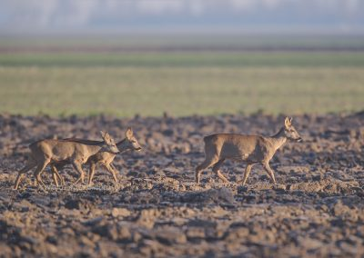 Three Roe Deer walking over the plowed field in the early morning sun