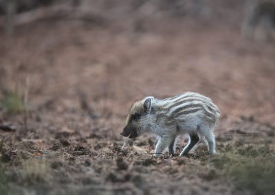Porkling of a wild boar starts to discover the world…