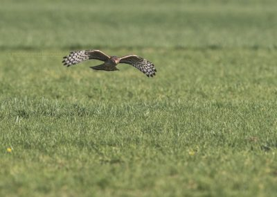 Hen Harrier hunting above the meadow