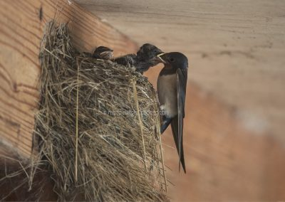 Young Barn Swallows feeded by the parents