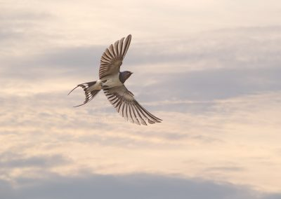 Barn Swallow in flight…