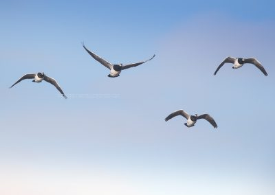 Barnacle Geese in flight