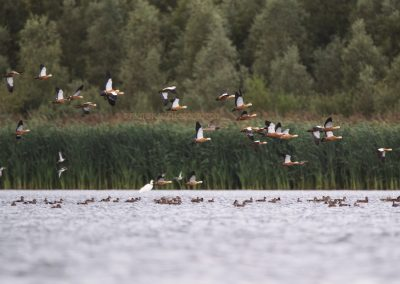 Group of Ruddy Shelducks do fly up