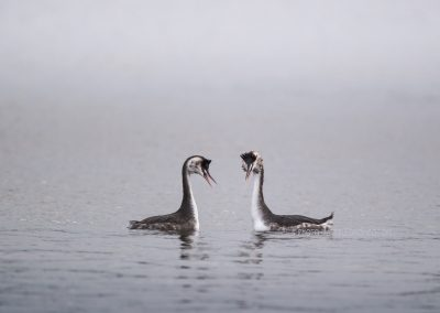 Pair of Great Crested Grebes in winter plumage during  their mating ritual