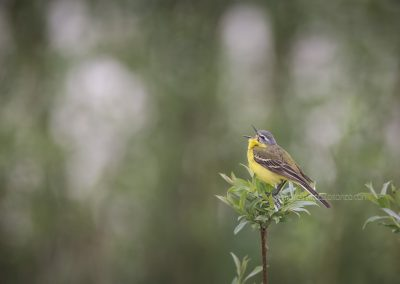 Yellow Wagtail singing on the top of a bush