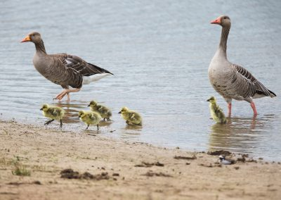 Greylag Goose family comes out of the water…