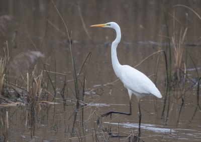 Great Egret walking slowly through low water