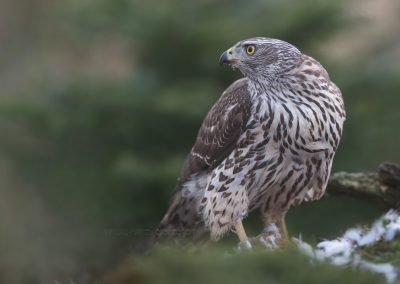 Northern Goshawk looks around and listens while eating from the prey