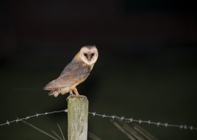Barn Owl at night, looking for a prey