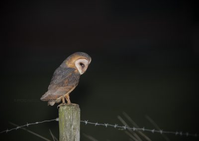 Barn Owl on a pole looking at a prey…