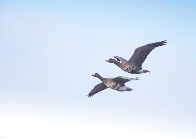 A pair of Greater white-fronted Geese in flight