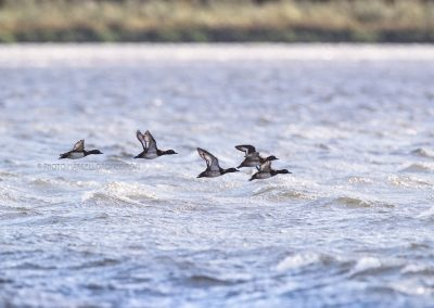 Tufted ducks flying against the wind low over the water