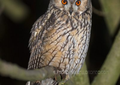 Long-eared Owl rests for a while on a branch during the night