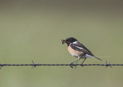 Male Stonechat with a fresh catched insect sitting on the barbed wire