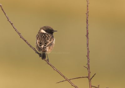 Just arrived Stonechat after the migration looks back…