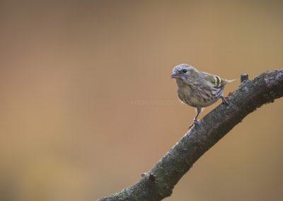 Siskin posing on a branch….