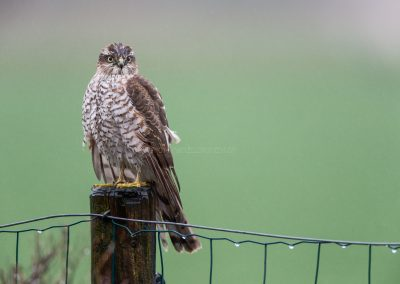 Wet Sparrowhawk on a pole looking for a prey in the pooring rain…
