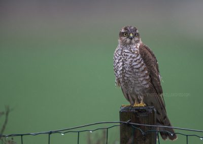 Wet juvenile Sparrowhawk on a pole looking for a prey in the pooring rain
