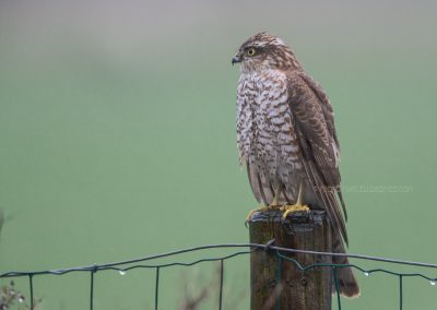 Juvenile Sparrowhawk looks around for a prey in the rain…