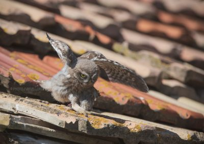 Juvenile Little Owl carries a jsut received prey (a sparrow) on the roof of a old farmhouse