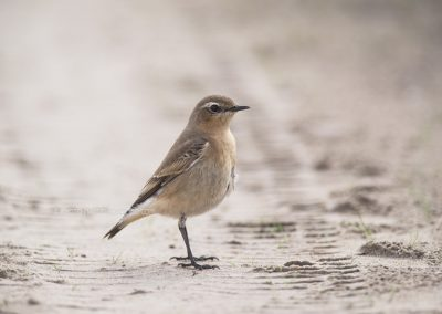 Northern Wheatear looking for insects to catch…