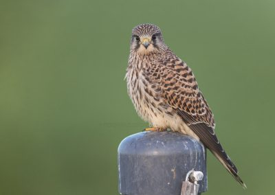 Kestrel resting on a pole looking into the camera…