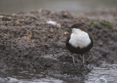 White-throated Dipper standing at the shoreline