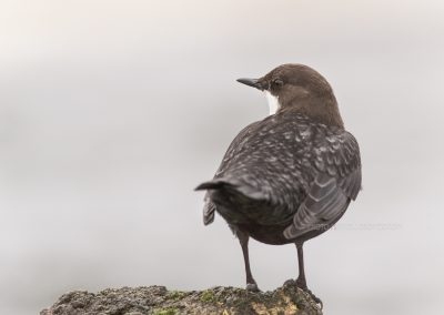 White-throated Dipper standing at the shoreline looks back