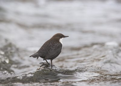 White-throated Dipper standing in the middle of the fast running water