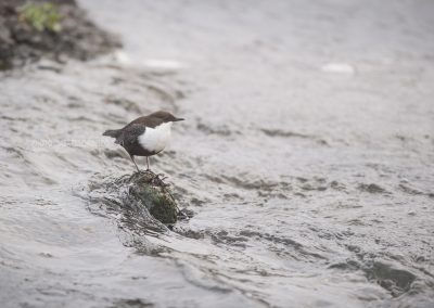 White-throated Dipper in the middle of the strong running water…