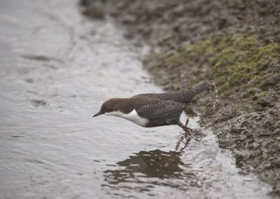 White-throated Dipper dives in the water to catch food