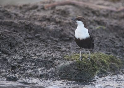 White-throated Dipper makes himself as long as possible to check if the situation is safe